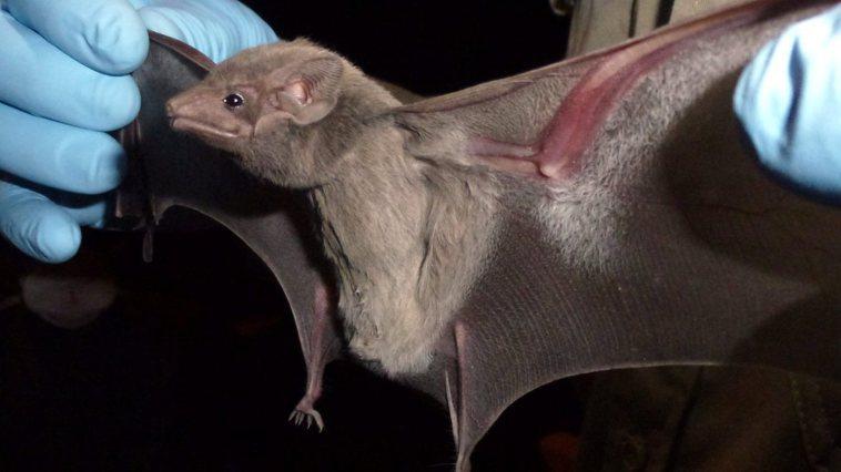 蝙蝠被懷疑是這次爆發新型冠狀病毒的元凶。美聯社