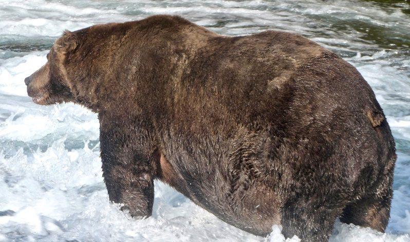 美國阿拉斯加州「2020肥熊周」重量大決戰選出的最肥灰熊747,9月20日正在卡特邁國家公園內的河流獵捕鮭魚。路透/U.S. National Park Service