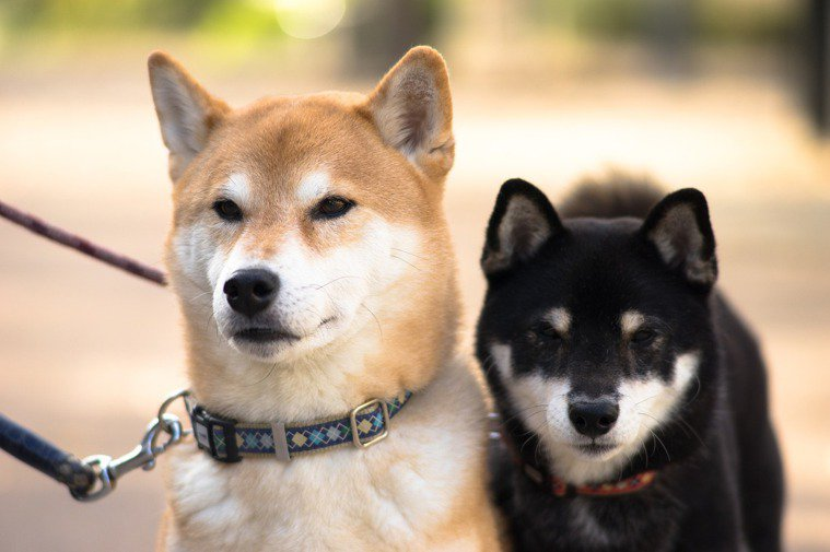 狗狗毛長,易窩藏寄生蟲產生皮膚病。 圖/pixabay
