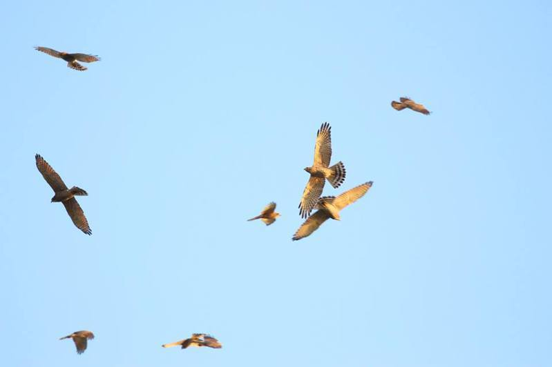 長榮大學定11日在墾管處舉辦「2020台日鷹緣交流會」,期透過三方官學合作,發揮更大生態保育行動效益。記者潘欣中/翻攝