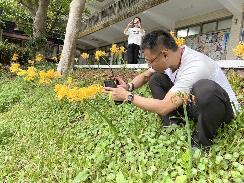 基隆二信高中國慶花復育成功,金花石蒜綻放黃色美景。圖/二信提供