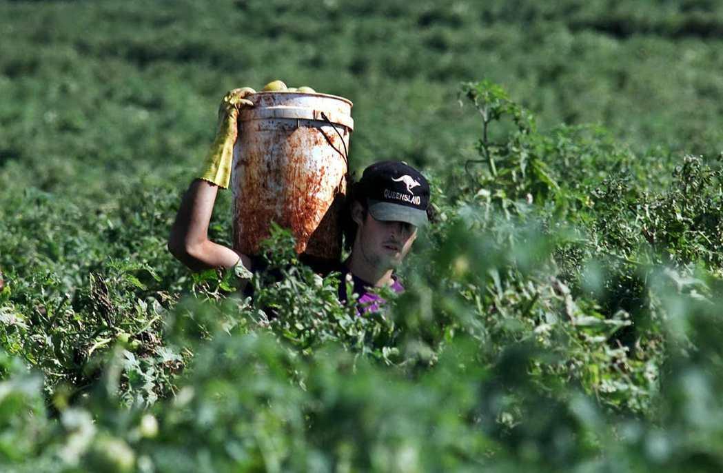 一名背包客在澳洲布里斯本郊區的農場採收番茄。(美聯社)