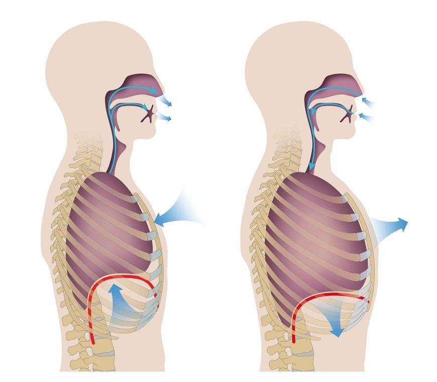 橫膈膜和肋間肌使胸腔膨脹、收縮,進行呼氣與吸氣。 圖/取自50+(Fifty P...