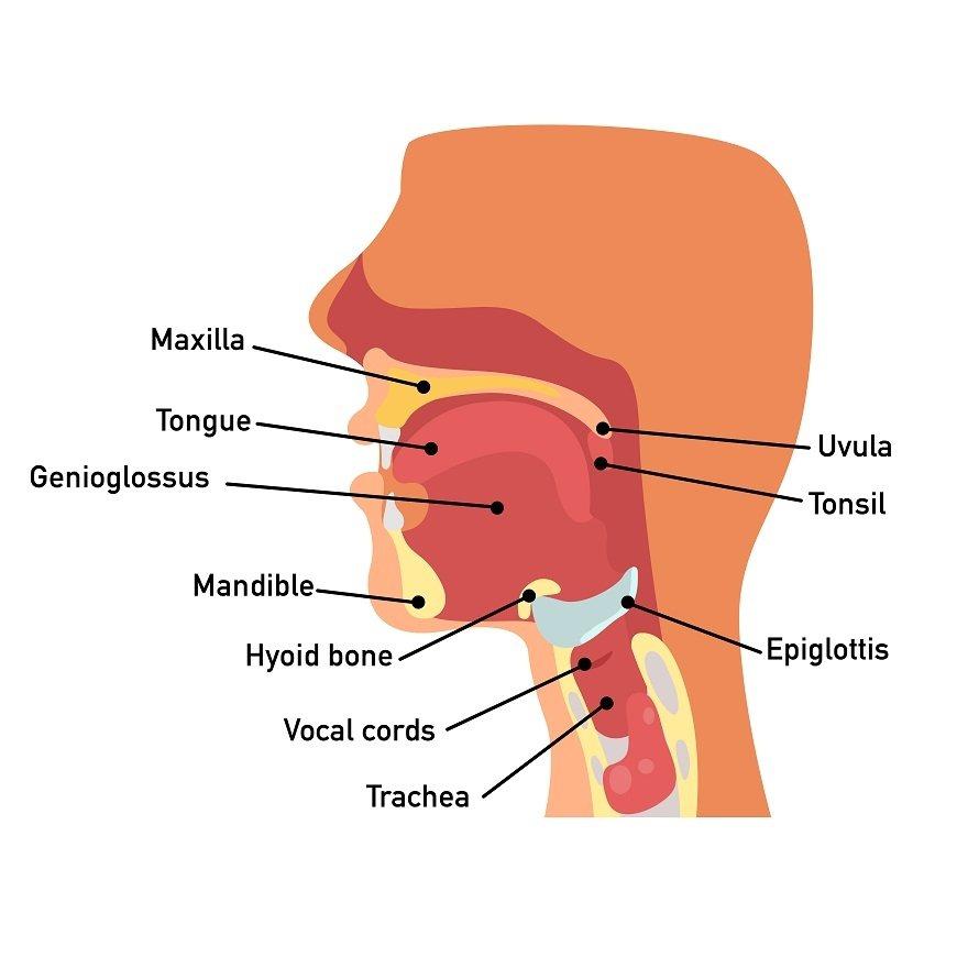 會厭軟骨(Epiglottic)的作用是避免食物進入氣管。 圖/取自50+(Fi...
