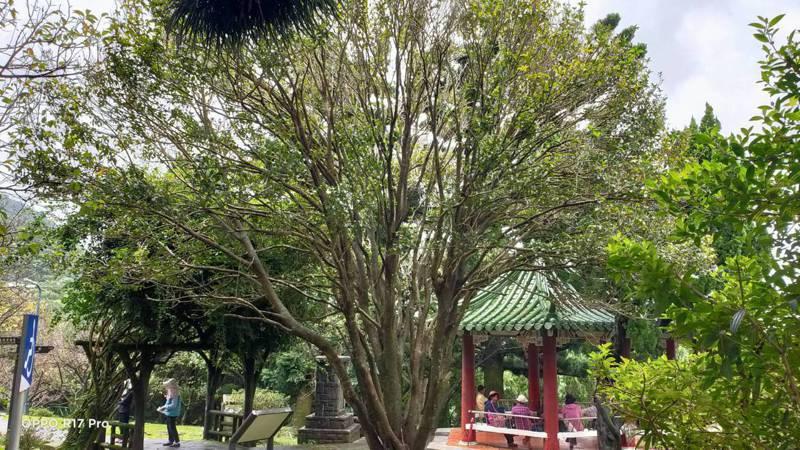陽明山有一顆樹齡超過60歲的阿嬤級丹桂。圖/北市公園處提供