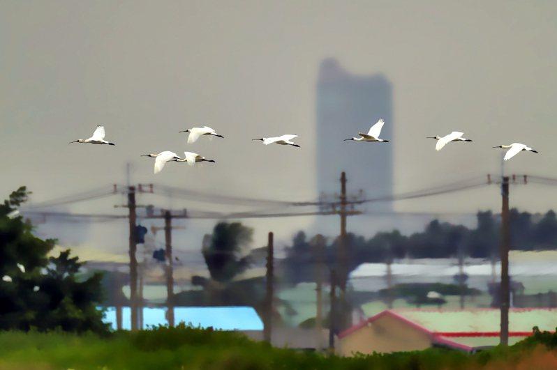 高雄茄萣濕地的首批黑面琵鷺在7日抵達,鳥友記錄到這波首訪茄萣的嬌客身影。圖/王文德提供