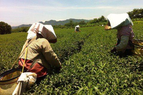 在台東鹿野林旺茶廠學習採茶的過程。 圖/風尚旅行提供