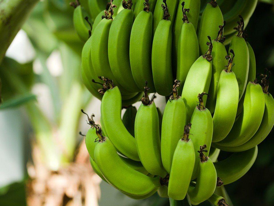 綠皮香蕉含有更多的膳食纖維,補夠膳食纖維能夠讓我們吃進較少的食物並且容易覺得飽。...