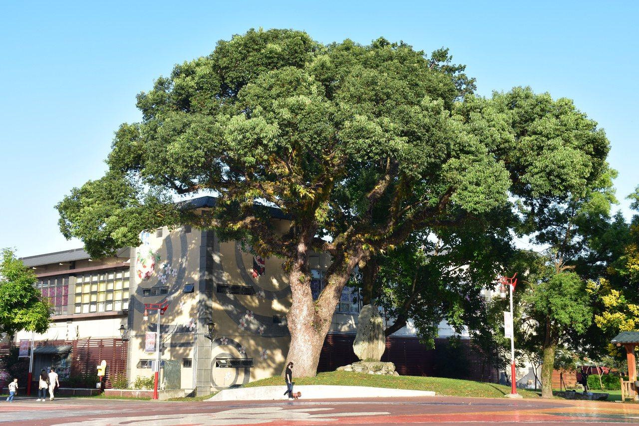 好客藝術村有一棵200年老樟樹,現由花蓮縣政府列管保護。 圖/王思慧 攝影