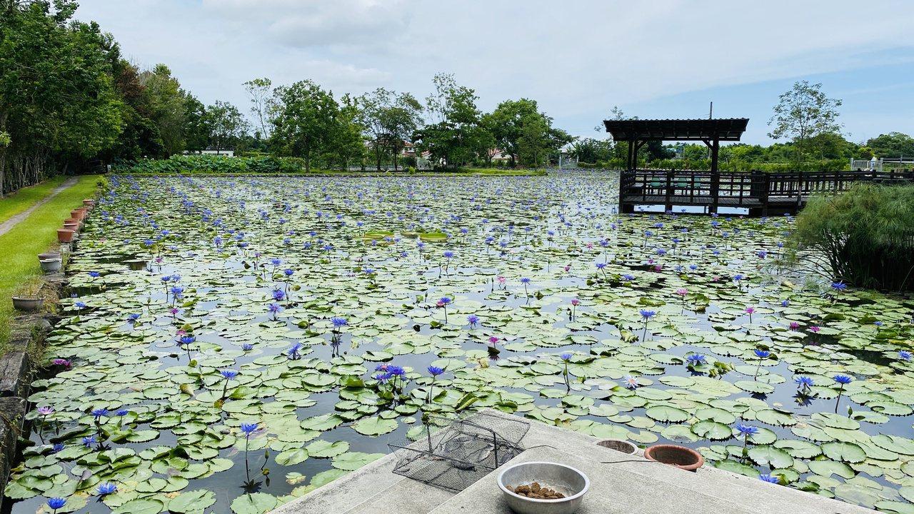 蓮成蓮花園免費對外開放,供遊客休憩賞蓮花。 圖/王思慧 攝影