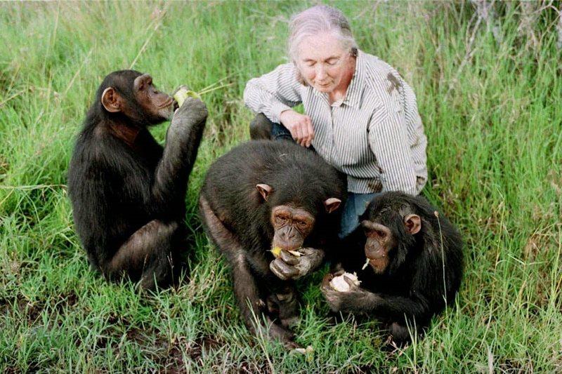 珍古德博士,攝於1997年。 圖/美聯社