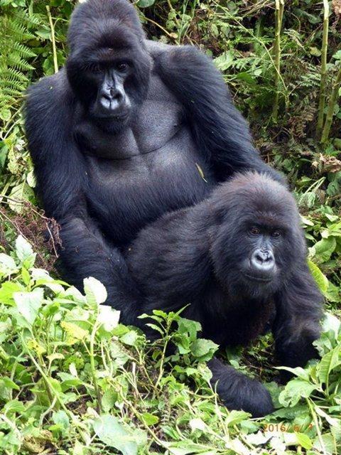 盧安達西北部火山國家公園中的山地大猩猩。 圖/謝長瑞提供