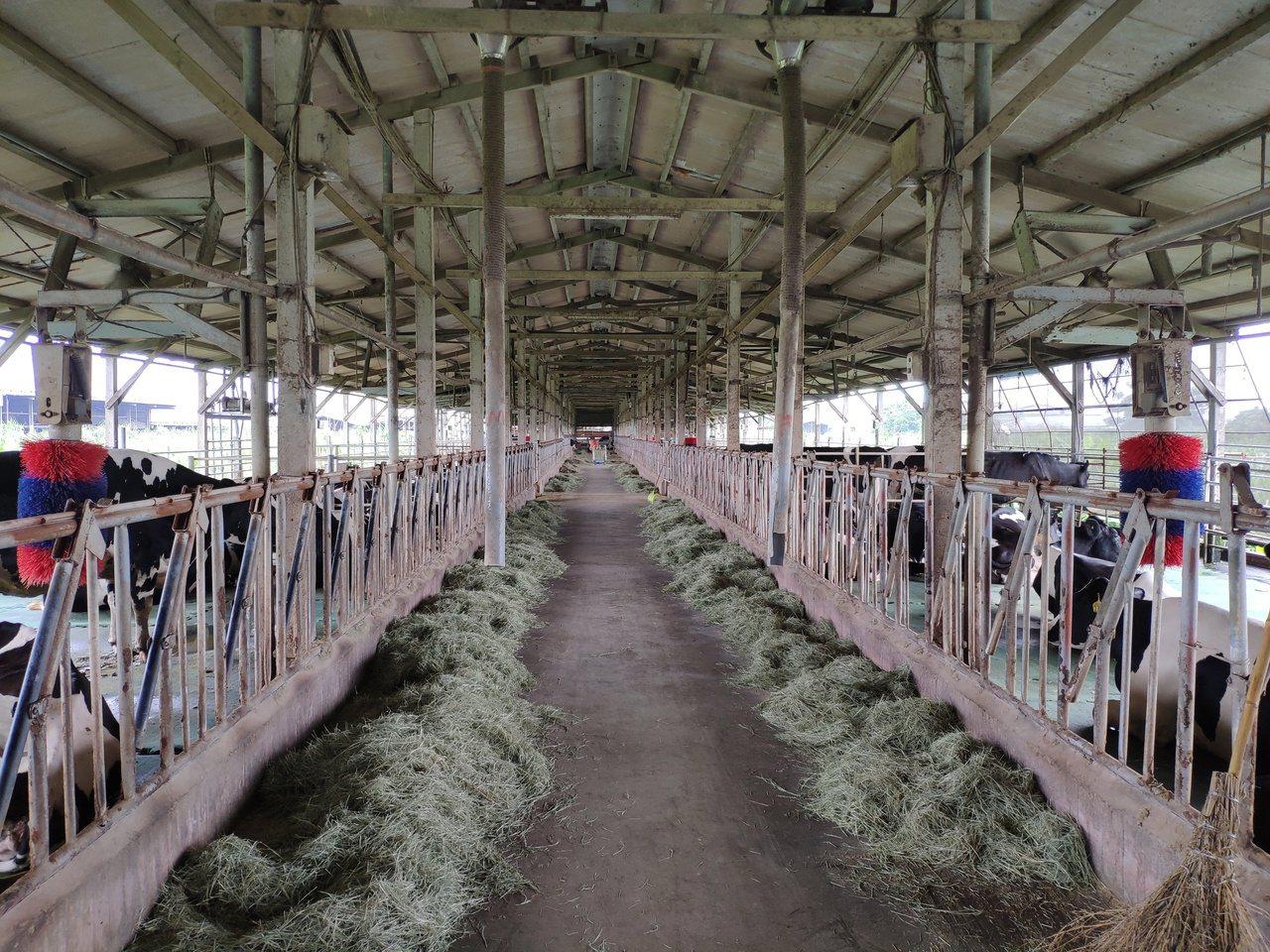 李美珠的牛舍環境乾淨,沒有臭味。 圖/謝進盛 攝影