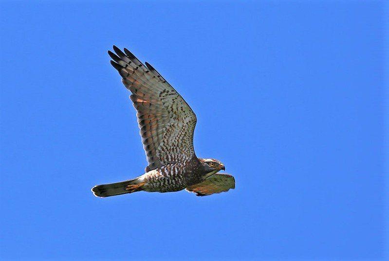 有「國慶鳥」之稱的灰面鵟鷹大量過境恆春半島,賞鷹客紛紛來追鷹,但坊間還是有高價收購、想嘗「野味」傳聞。記者潘欣中/翻攝