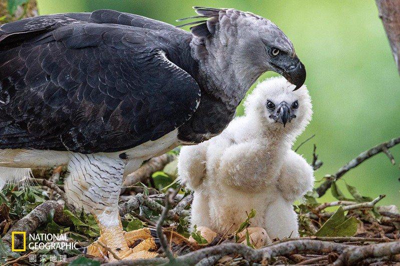 巴西亞馬遜地區的一隻角鵰在巢中守護牠的雛鳥。雌鳥體型比雄鳥大,體重可達11公斤,爪子通常比灰熊的還要大。自19世紀以來,角鵰在中南美洲的分布範圍已經減少了40%以上。 攝影:凱琳.艾格納 KARINE AIGNER