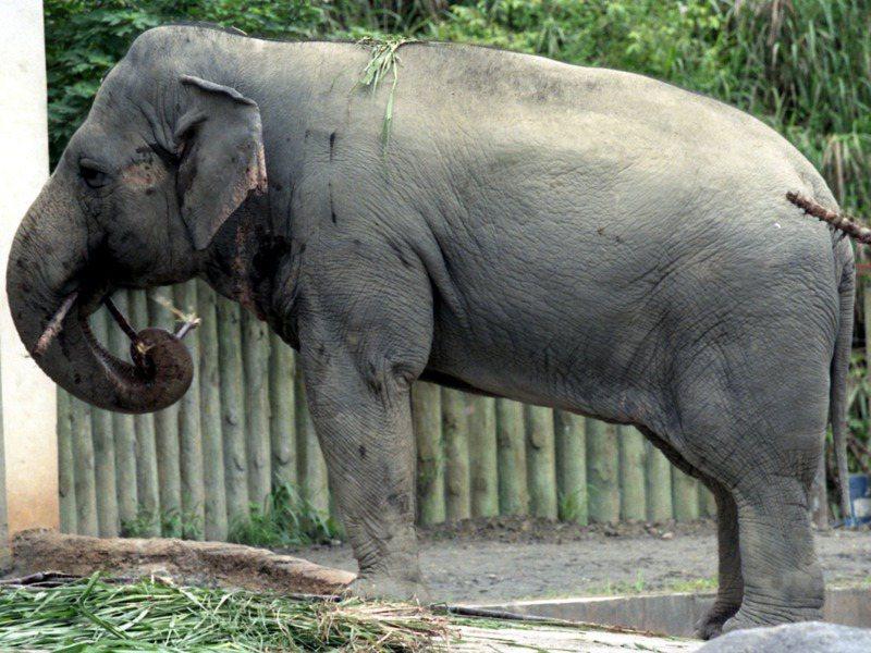 1996年的亞洲象馬蘭。 圖/聯合報系資料照片