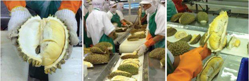 新鮮巴氏殺菌可以完整保留榴槤最美味的肉香及最甜的熟度。 巨加利公司/提供