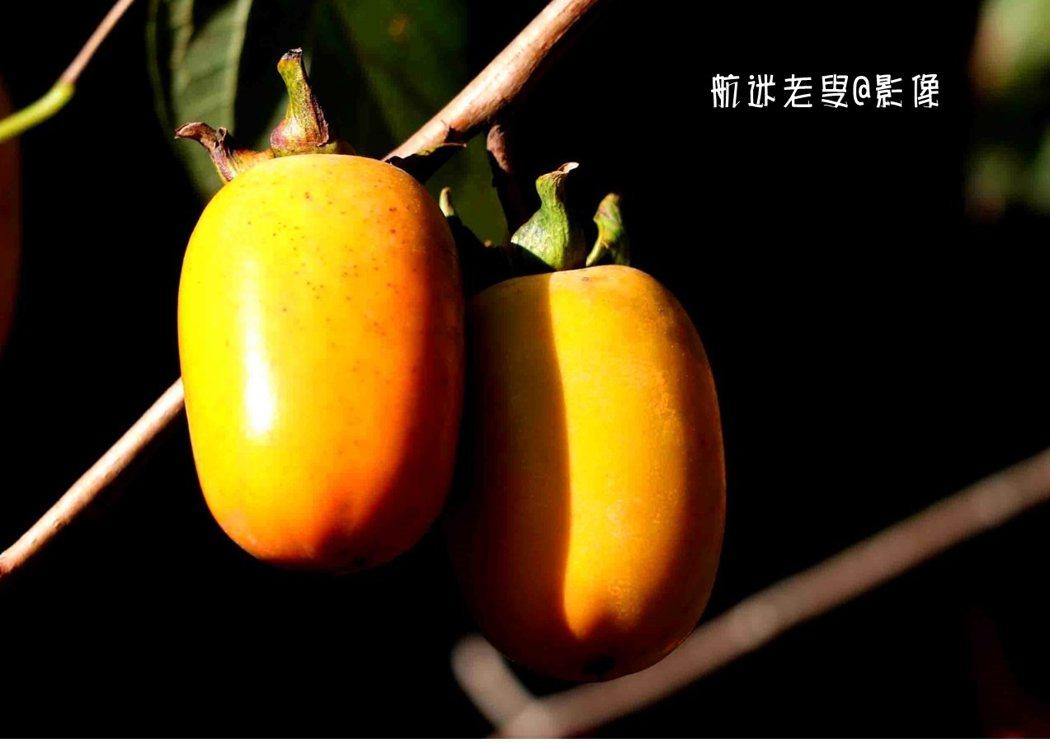 一根黑色的粗壯的樹幹延伸出一簇細的樹枝上掛著了柿子的,在秋陽光下,黃黃的柿子表面閃著光亮。