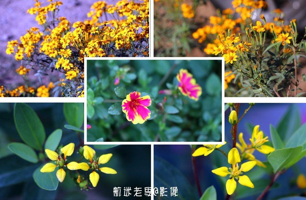 只是曬柿子,只是一種單調的壯觀,那黃的小野花加入到房前屋後,色彩變得繽紛多彩起來,留下一地的驚豔。