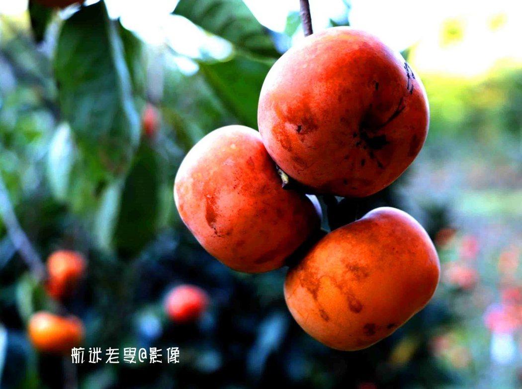 深秋愈紅,柿子飽滿潤澤,枝條疏密分叉,葉子圓潤婆娑,一枝可結實數個至數十個。