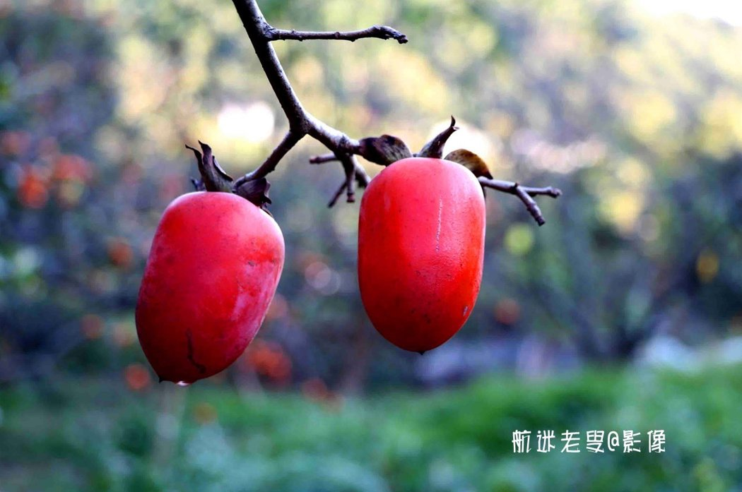 柿熟時紅如火,兩個柿子,好事成雙。