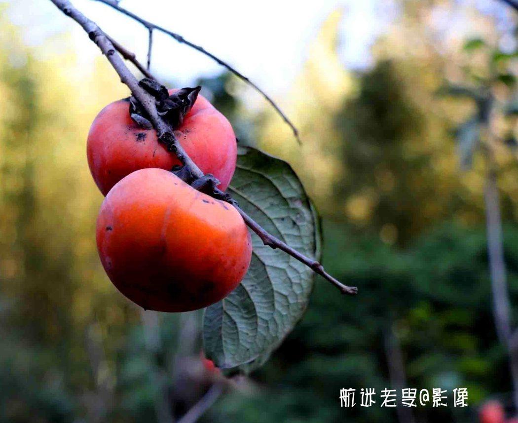 藍天是畫布,每張照片就是一幅畫,橫逸斜出的一兩枝在末端掛著二個紅柿子,樹枝有意無意地點綴兩三個柿子,很有意境。