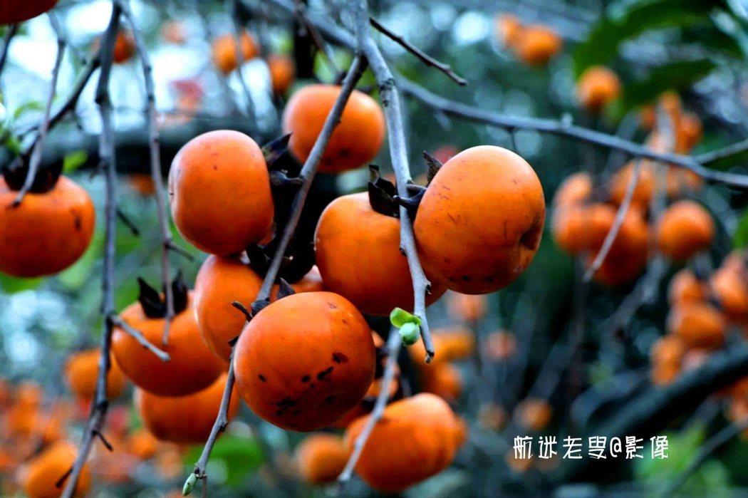 滿樹的柿柿如意,讓人分享到柿柿安康、 快樂。