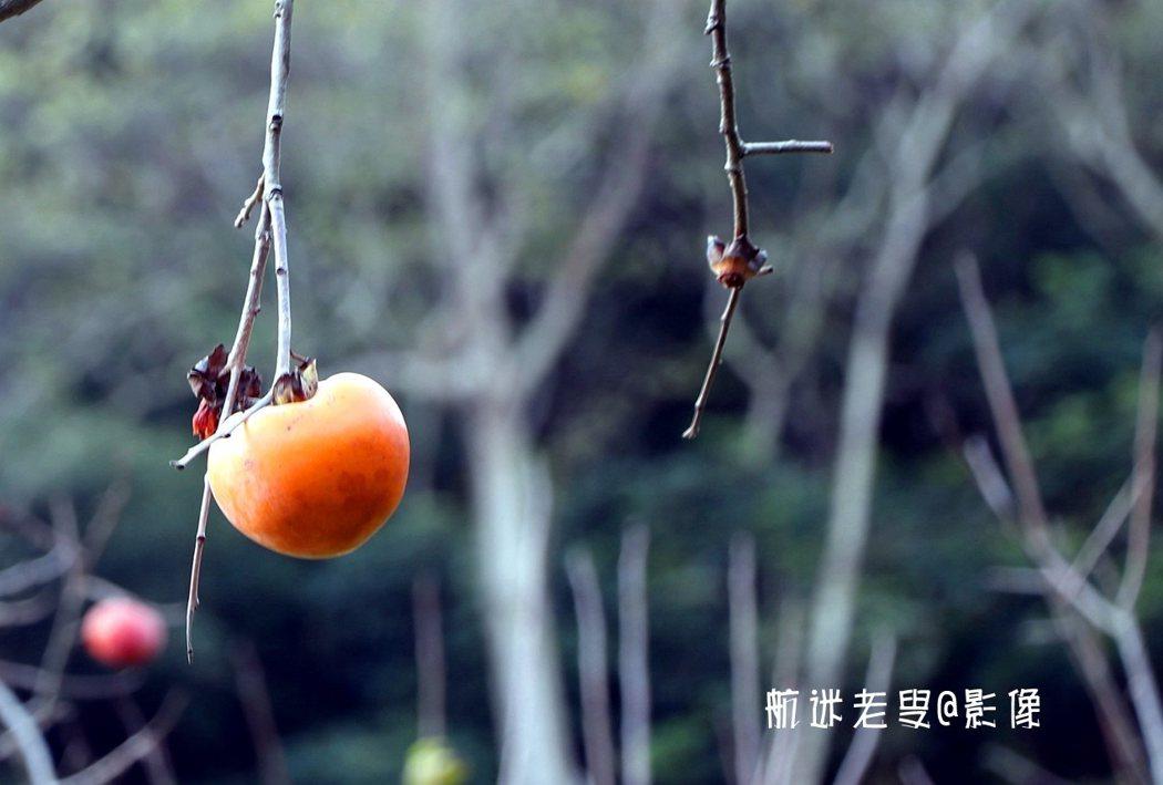 垂下的細細的樹枝上只垂著一個柿子,在徐悲鴻的畫作中似曾相識。