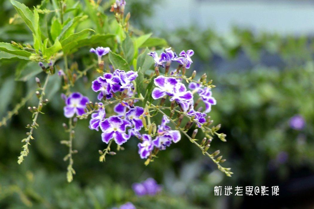 柿子園中,這一抹紫色可以說是獨樹一幟。