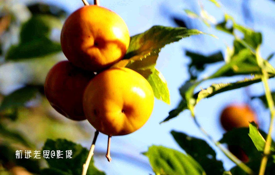 柿子還沒採摘,夕陽斜照在柿子上,暖暖的,我按著快門,柿柿如意。