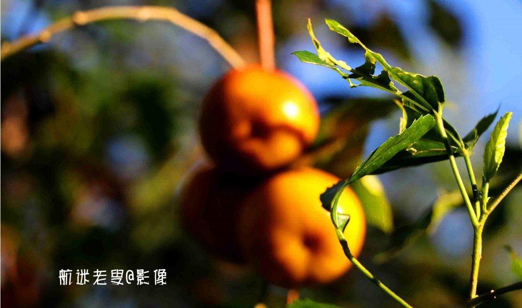 拍柿子,滿枝頭的柿子難構圖?也許只拍一個二個是個不錯的辦法, 色彩飽滿、新鮮欲滴,令人垂涎三尺。