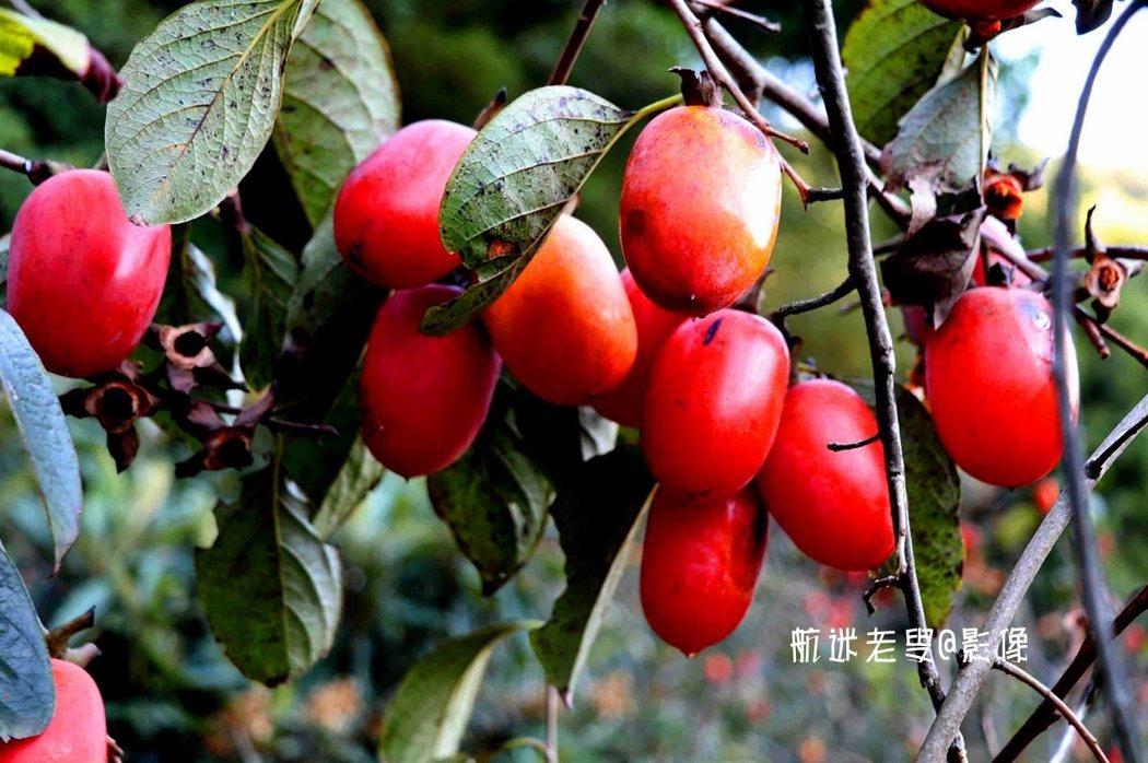 柿子結的特別繁茂,葉子枯黃,樹冠掛滿了紅色的柿子,一串串得結在一個樹枝上,灑滿樹上,在柿園分外引人注目。