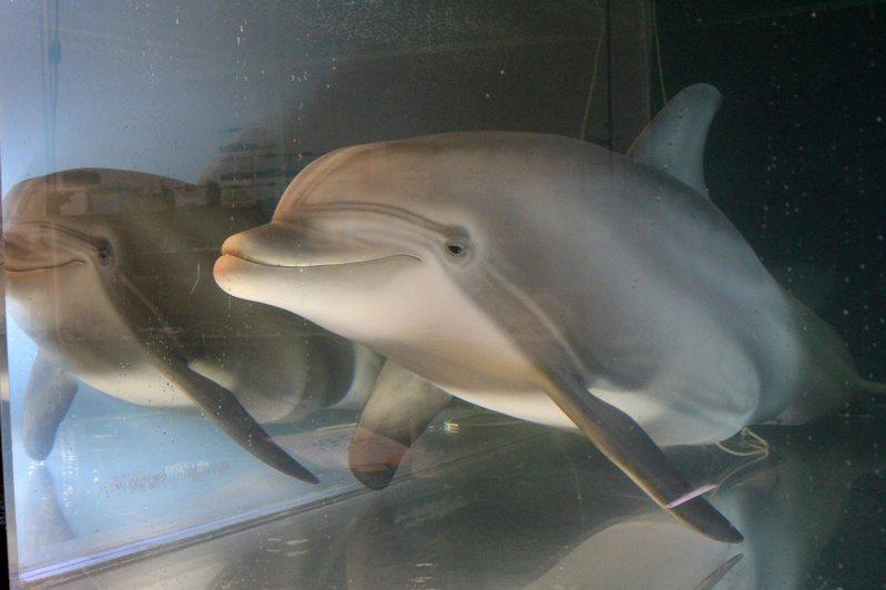 這隻機器海豚重約250公斤、身長約2.5公尺,外皮是醫用矽膠製成,由加州科技工程公司「邊緣創新」打造,造價在300萬至500萬美元之間。路透