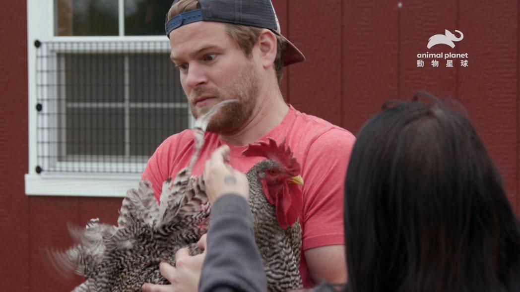 有情緒障礙的公雞得到丹麥可南的幫助。圖/動物星球頻道提供