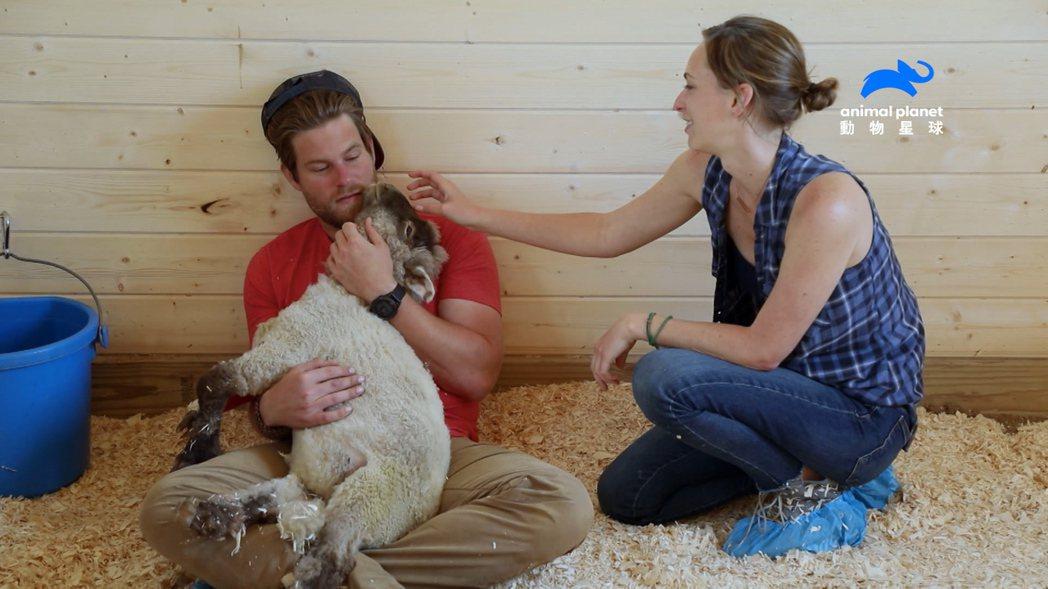 失明、殘障的羔羊安心躺在丹麥可南懷中。圖/動物星球頻道提供