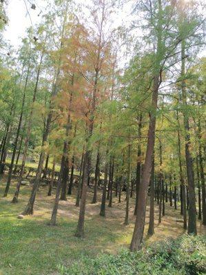 每年11月起落羽松逐漸轉黃,是秋天不能錯過的唯美景象,帶動秋季全台各地落羽松秘境...