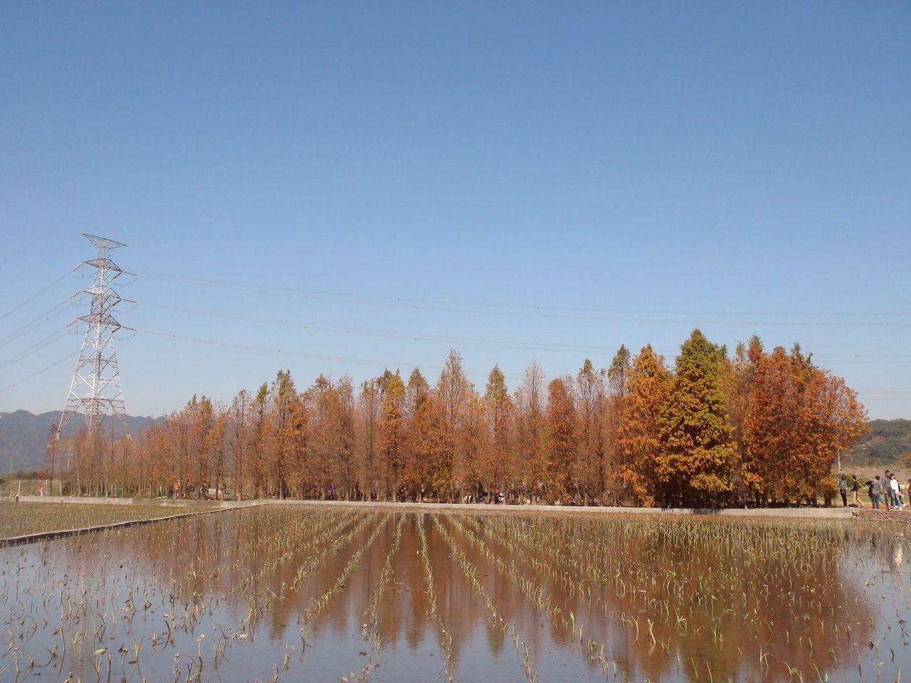 台中后里區泰安國小旁有成排落羽松,橘紅的落羽松倒映在水中,如詩如畫,彷彿置身在仙...