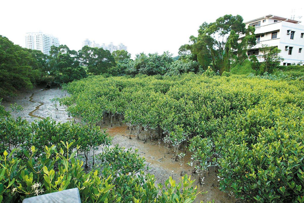 台北淡水紅樹林近年來快速擴張,成為台北地區重要的假日休閒去處。 圖/陳正興 攝影