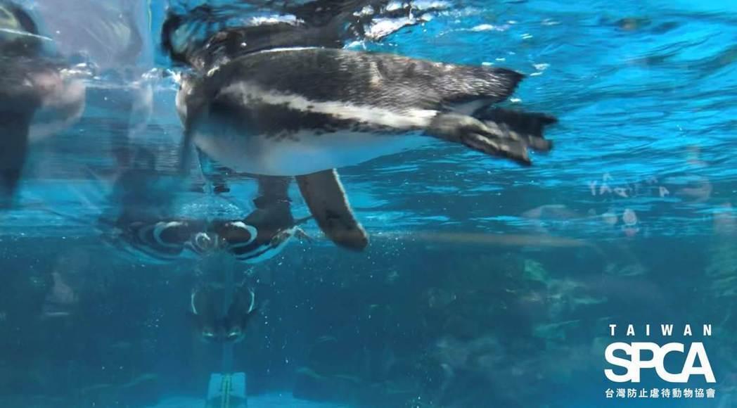 麥哲倫企鵝不斷游向玻璃,顯得焦慮躁動。台灣防止虐待動物協會提供。