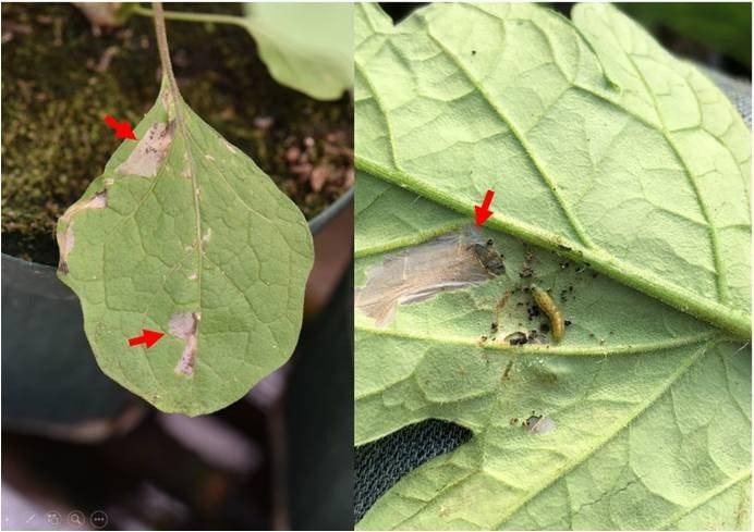 番茄潛旋蛾鑽入葉片取食。圖/防檢局提供