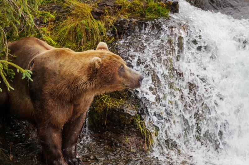 日本部分地區今年發生多起熊攻擊人類的事件。示意圖/ingimage授權