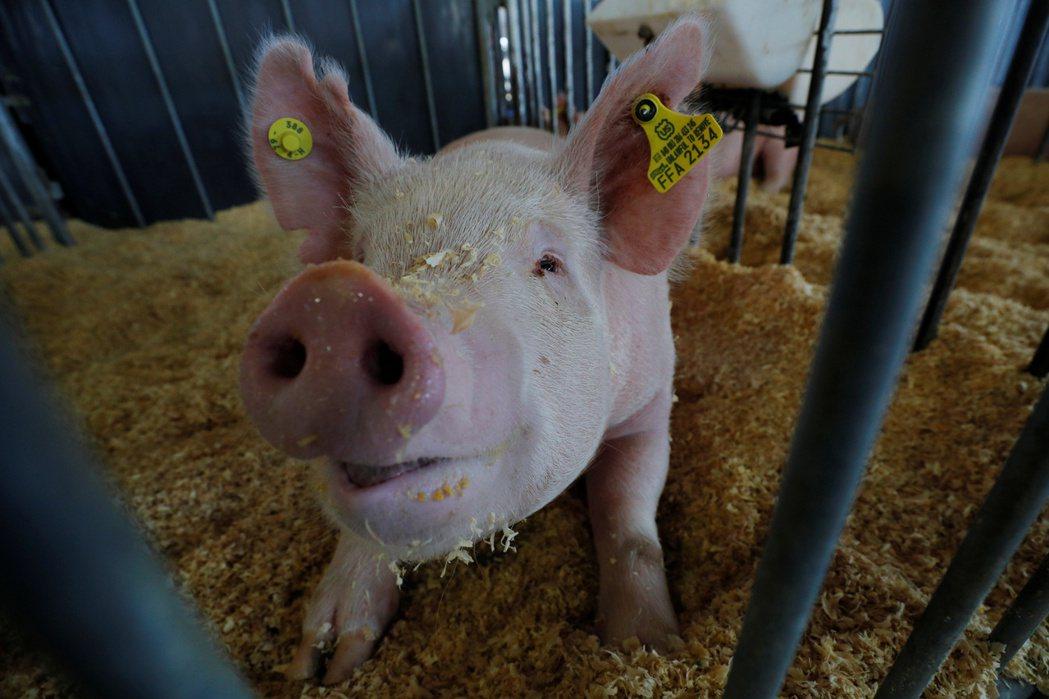 美國研究指出,出現在豬隻身上的冠狀病毒可能感染人類。路透檔案照