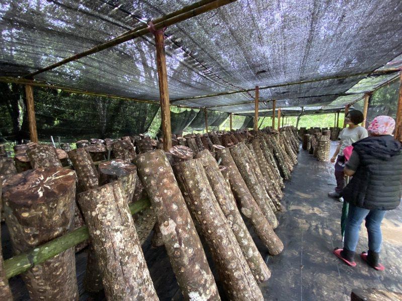 林務局東勢林管處針對台中市和平區內承租國有林林農辦理「林下經濟段木香菇栽培訓練班」,推廣林下經濟的可行性與好處。圖/東勢林管理處提供