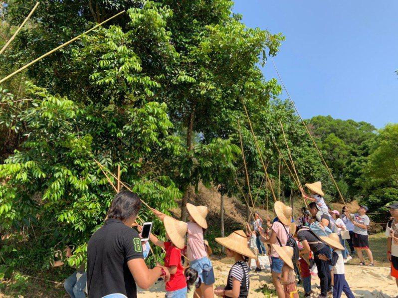 寶山鄉擁有全國唯一的橄欖產銷班,每年10月就進入橄欖採收期。圖/鄉公所提供