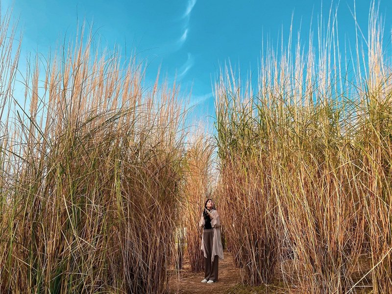 台中市中央公園原本是機場,公園內有多元的生態樣貌,圖為秋季限定的五節芒。圖/台中市建設局提供