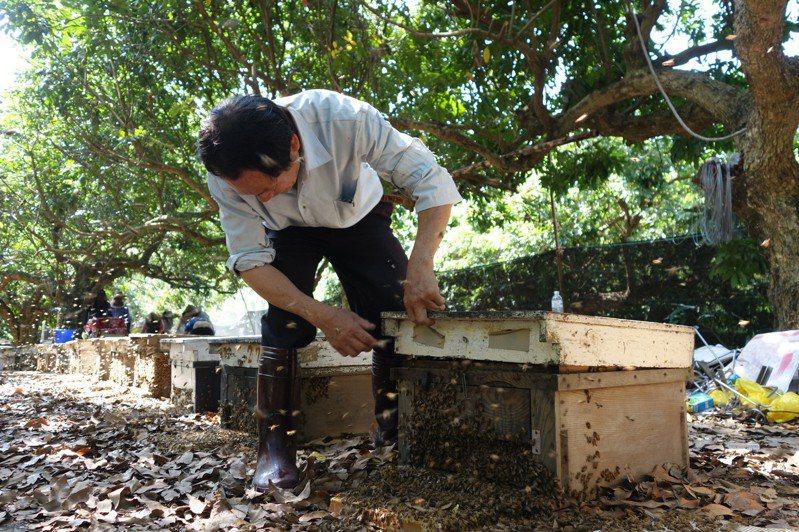 近年林下經濟夯,現階段政策雖開放「森林蜂產品」,但不能養虎頭蜂。圖/本報資料照