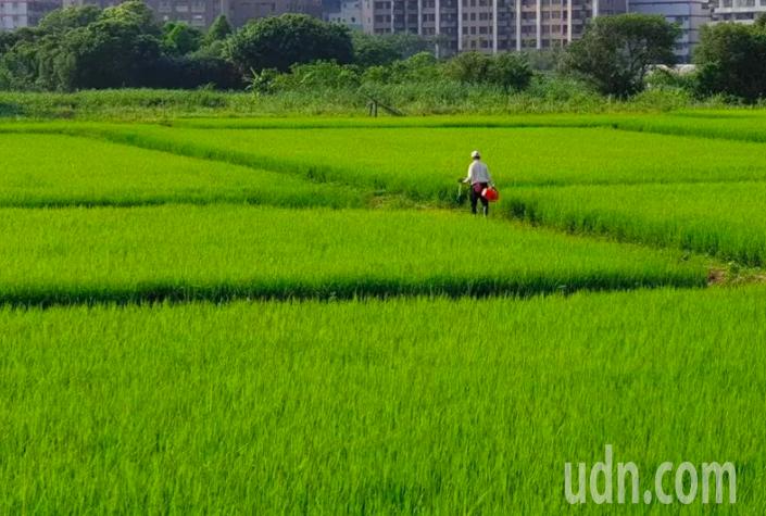 史無前例稻田抽穗卻停灌,農委會農水署表示,除了稻米外,雜糧、地瓜、大豆、牧草、果...
