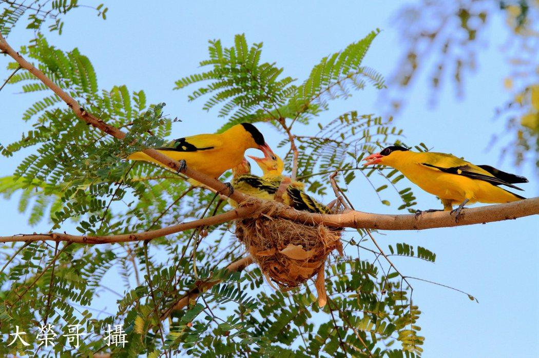 01.黃鸝鳥育雛