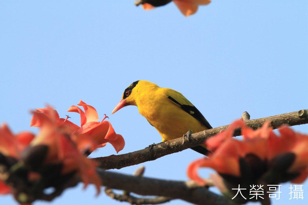 02.黃鸝鳥