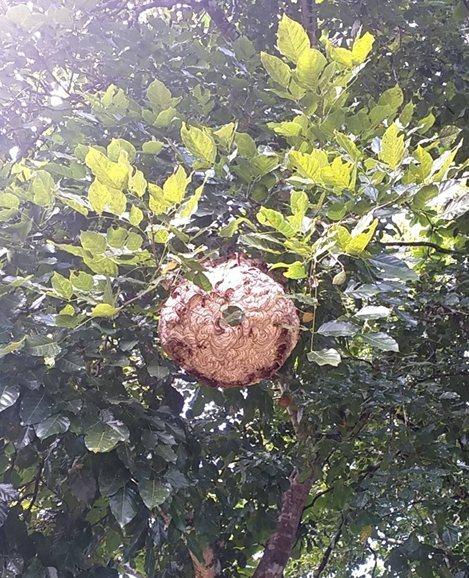 黃腰虎頭蜂分布平地至海拔1500以下山區,喜歡吸食樹液、腐果外,也會吸取花蜜,築巢地點除戶外樹叢,住家的圍籬和建物屋簷都是常見的處所。圖/必麥農牧科技公司提供